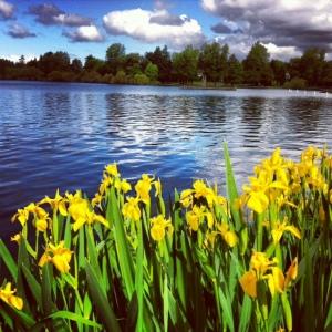 greenlake_yellow iris