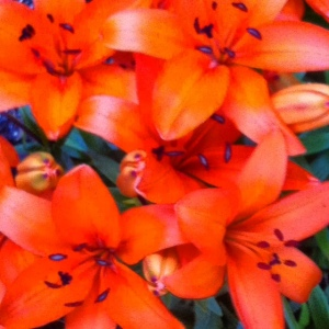 orange flower lily