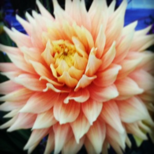 flower dalia