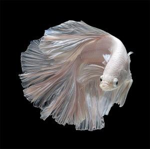 Siamese-Fighting-Fish-1-650x647 (1)