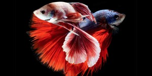 Siamese-Fighting-Fish-51-990x500