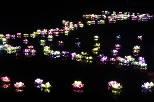 Lotus blossoms floating on a lake