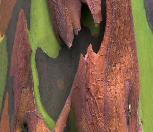 Bark-from-a-rainbow-eucalyptus-...-possibly-one-of-the-coolest-trees-on-earth