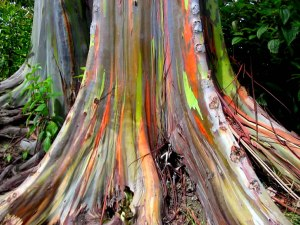 Trunk-of-rainbow-eucalyptus-trees-growing-along-the-Hana-Highway
