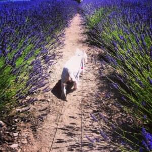 photo2 sug lavender