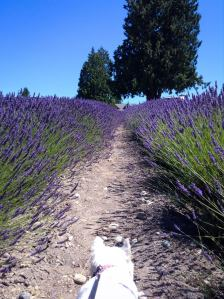 sug and lavender