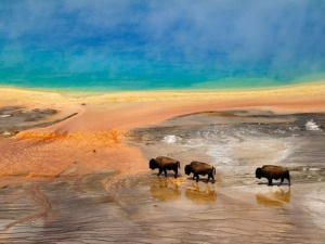 yellowstone-bison-national-park